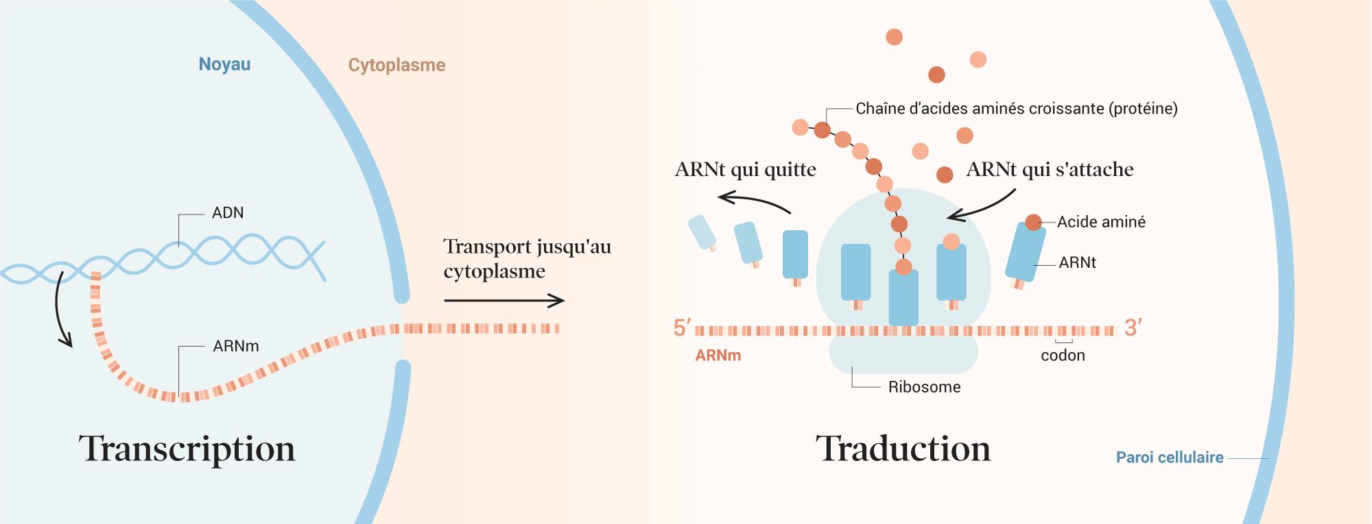 covid-19_vaccination_01b-transcription-translation_FR